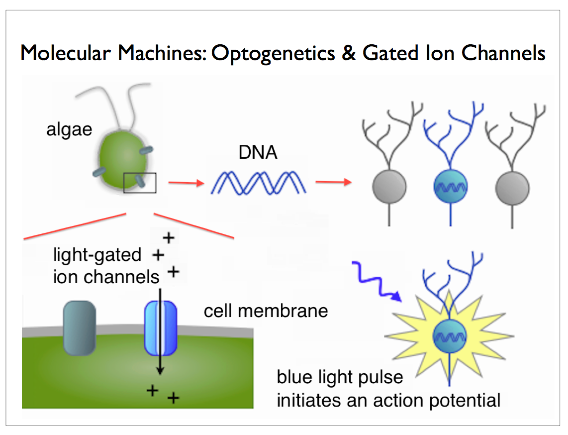 Sq online bioengineering of the future optogenetics an error occurred pooptronica