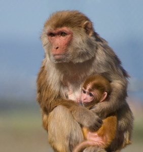 A mother rhesus macaque monkey and her infant | Photo by Source