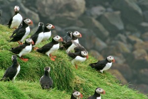 puffins_on_cliff