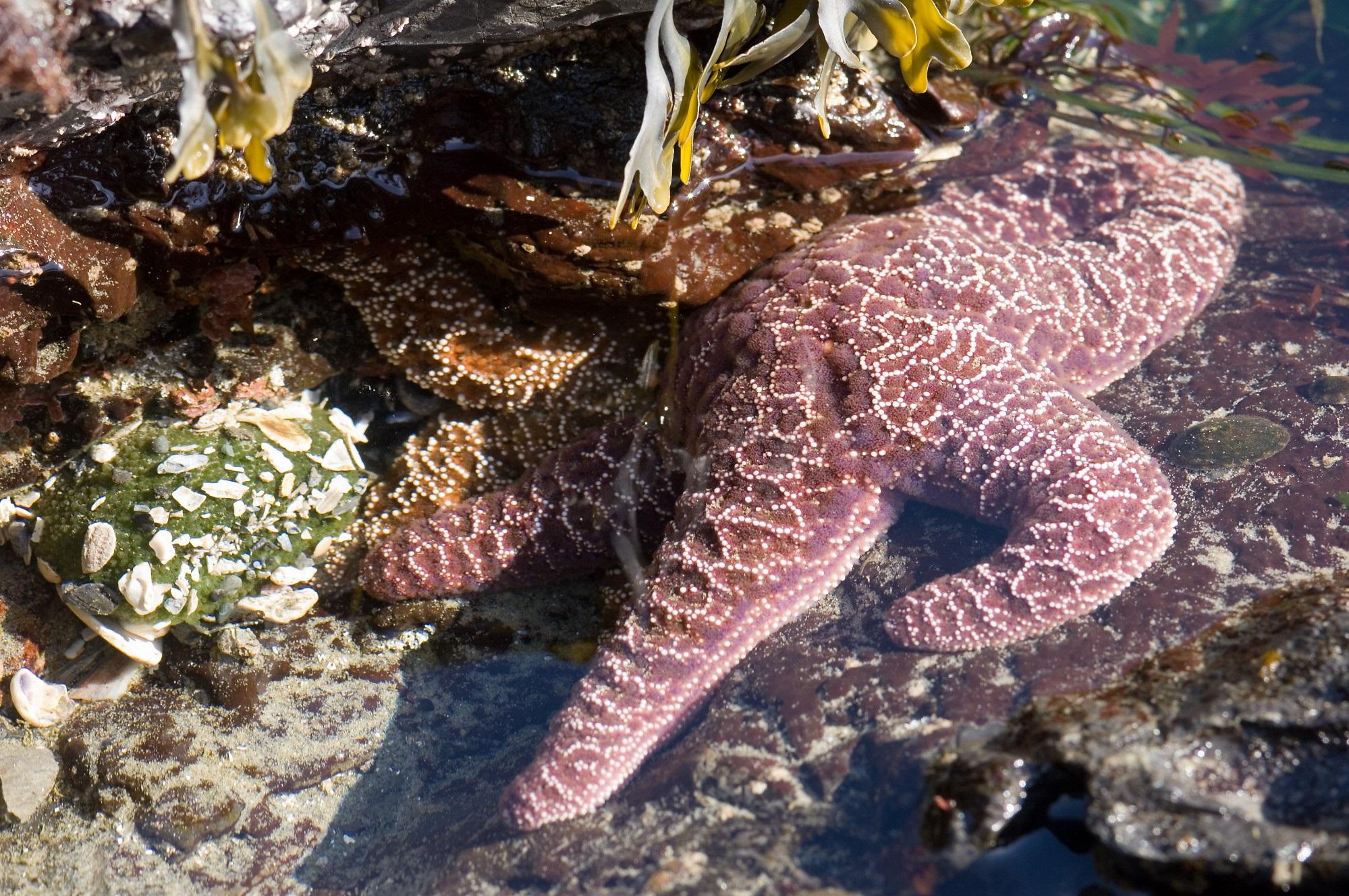 SeaStarsInTidePoolLg