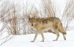 lamarwolf