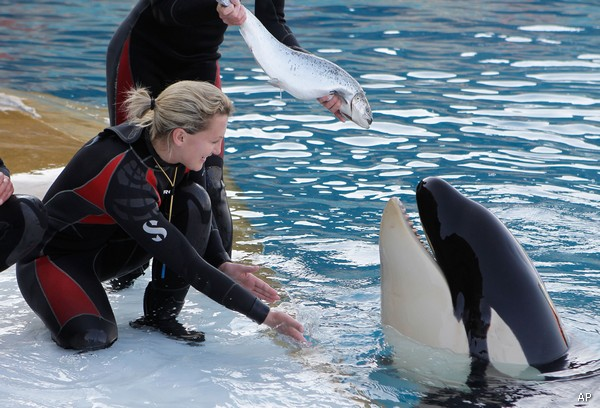 "A female killer whale Moana, receives from its trainers, a birthday cake made with ice and herring, to celebrate her first birthday at the animal exhibition park Marineland in Antibes, southern France, Saturday, March 17, 2012. The baby killer whale was born by artificial insemination with the sperm from ""Ulysses"", a killer whale of the Seaworld aquatic park at San Diego in USA. (AP Photo/Lionel Cironneau)"