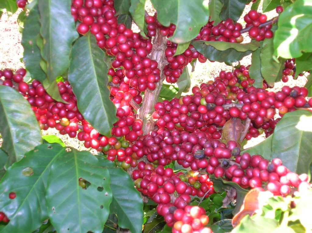 Daterra-Ripe-Coffee-on-Tree