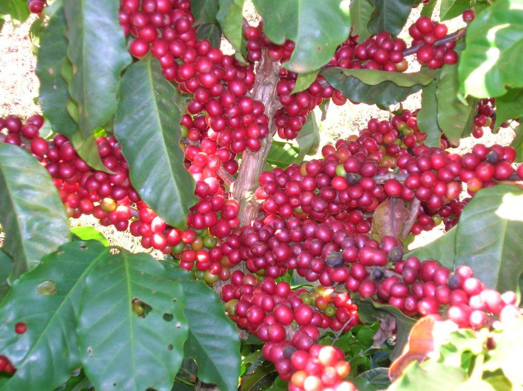 Daterra-Ripe-Coffee-on-Tree