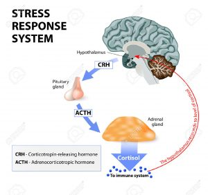 44315542-stress-response-system-stress-is-a-main-cause-of-high-levels-of-cortisol-secretion-cortisol-is-a-hor-stock-vector